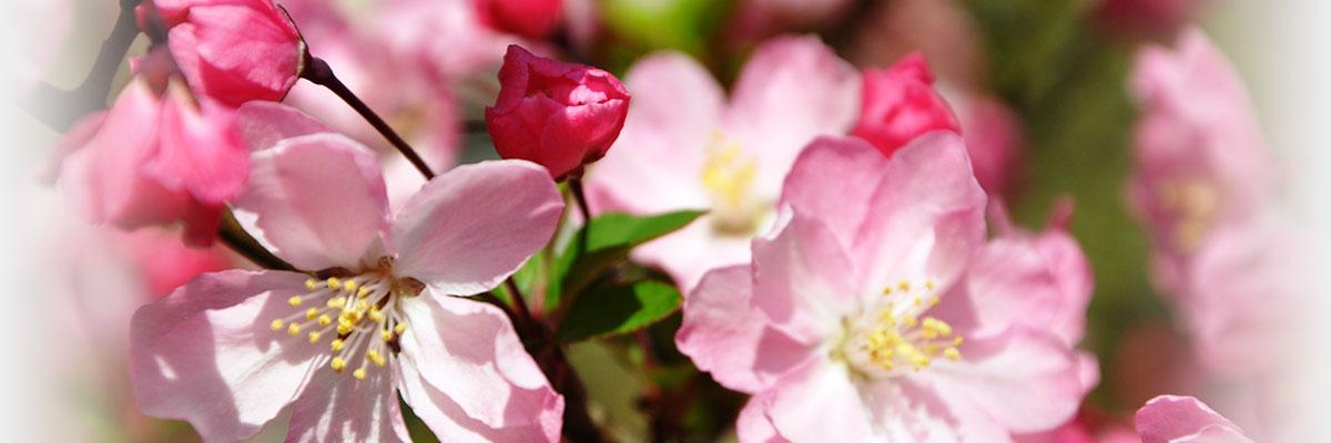 満開の海棠桜